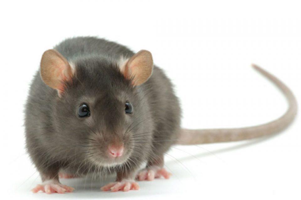 Deratizacija miševa